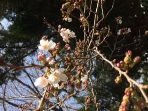 土屋公園の桜 開花宣言!
