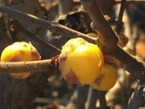 蝋梅のつぼみも膨らみ始めました。春もあと少し!